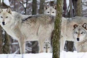 Lakota Wolf Preserve Holiday Art Show Fundraiser - Dec. 1